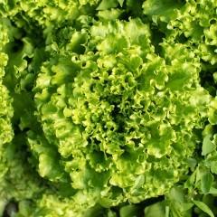 Salade Batavia Blonde bio à l'unité