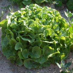 Salade Feuille de chêne Blonde bio à l'unité