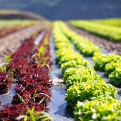 Salade Grenobloise bio à l'unité